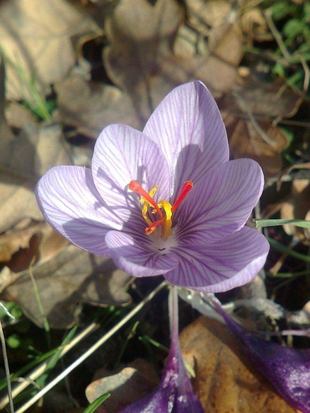 Шафран Палласа, или Крокус Палласа (Crocus pallasii)