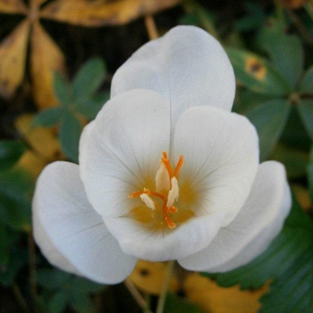Шафран, или Крокус хорошенький, так же красивенький, сорт 'Zephyr' (Crocus pulchellus)