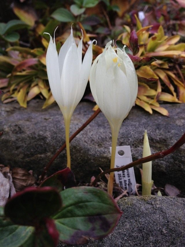 Шафран, или Крокус долинный (холмовой) (Crocus vallicola)