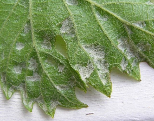 Нижняя сторона листа, повреждённая Виноградным зуднем, или Войлочным клещом