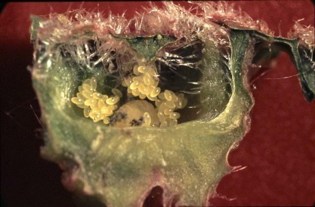 Вскрытый галл с кладкой яиц и личинками филлоксеры