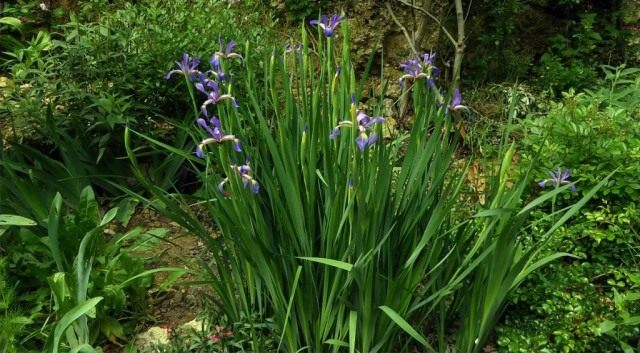 Ирисы ложные, или спуриа ирисы (Iris spuria)