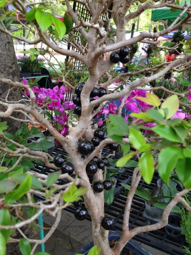 Плоды Жаботикаба на молодых ветвях