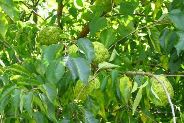 Маклюра оранжевая или маклюра яблоконосная (Maclura pomifera)