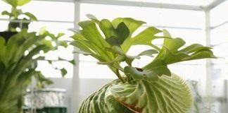Платицериум Ридли (Platycerium ridleyi)