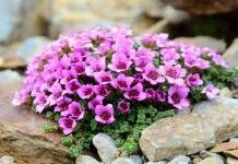 7 лучших почвопокровных растений для альпинария