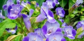 Торения Фурнье (Torenia fournieri)