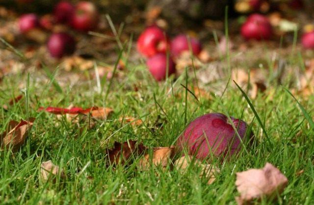 Очищаем участок от опавших фруктов и листвы, удаляем растительный мусор