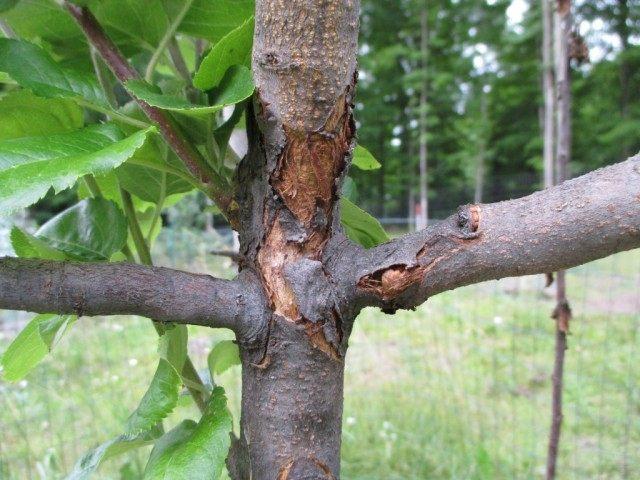 Рак на стволе молодой яблони