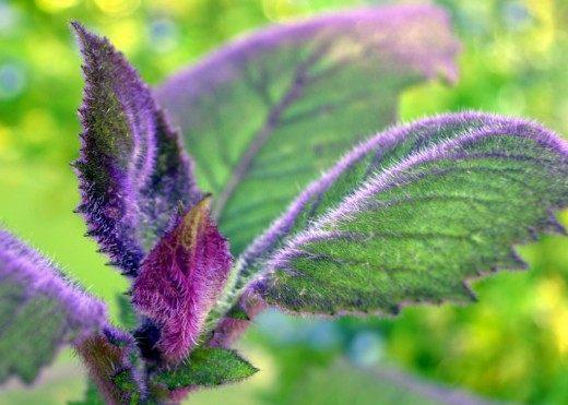 Гинура оранжевая (Gynura aurantiaca 'Purple Passion')