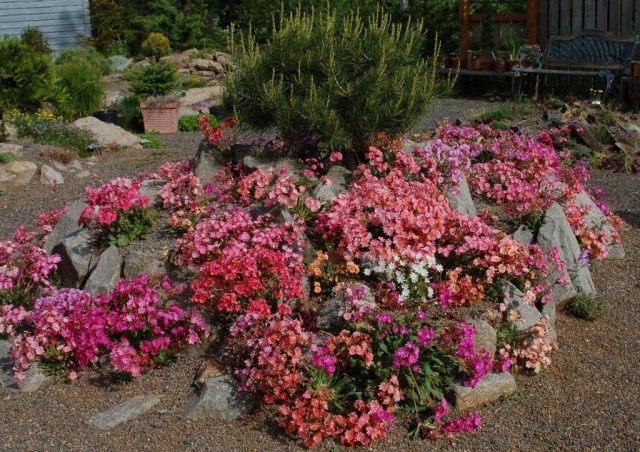 Альпийская горка с цветущими Левизиями котиледон (Lewisia cotyledon)