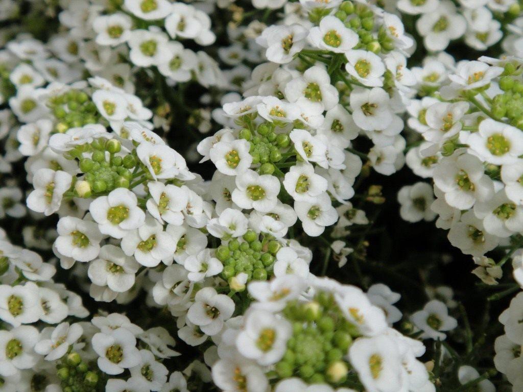 Лобулярия — неустанное цветение до конца сезона
