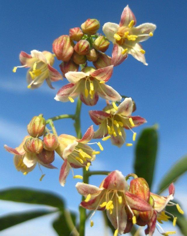 Цветы Маниока