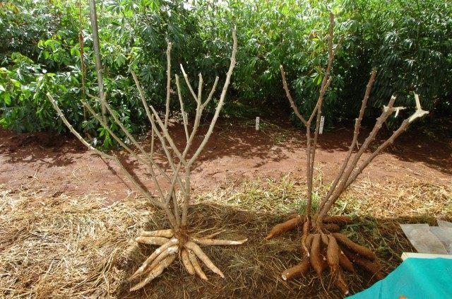 Обрезанные кусты Маниока с корнями.