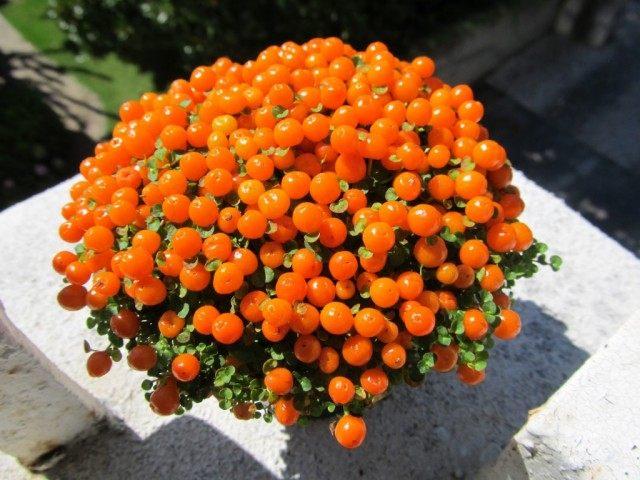 Нертера гранадская (Nertera granadensis)