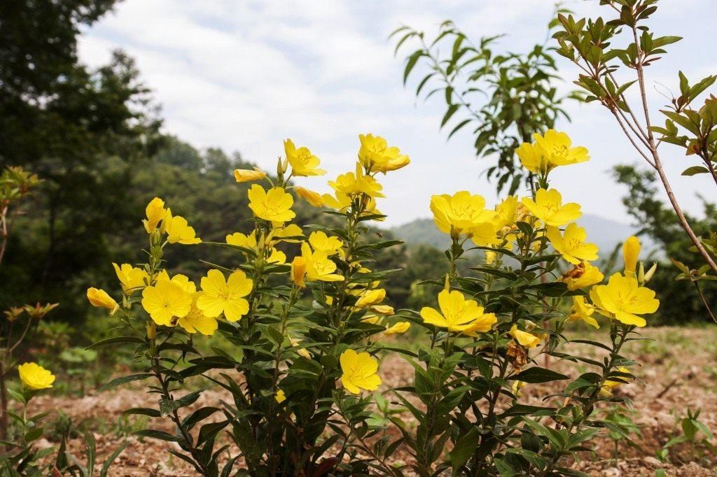 Энотера фото и выращивание