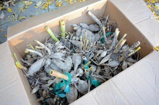Корнеклубни георгин подготовленные к зимнему хранению