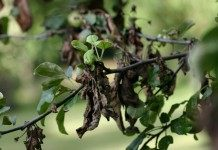 Грибковые и вирусные болезни яблонь