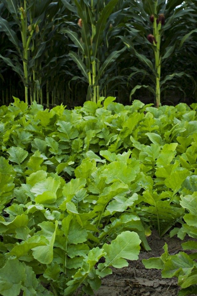 Грядка редиса рядом с кукурузой