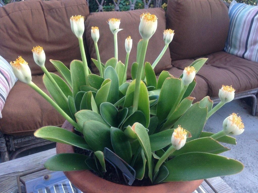Олений язык цветок фото