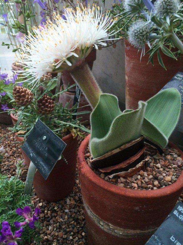 Гемантус чисто-белый (Haemanthus candidus)