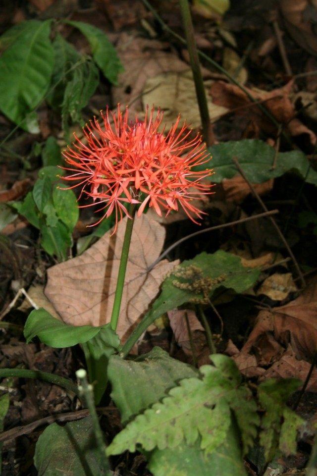 Скадоксус киноварный (Scadoxus cinnabarinus), синоним Гемантус киноварный (Haemanthus cinnabarinus)