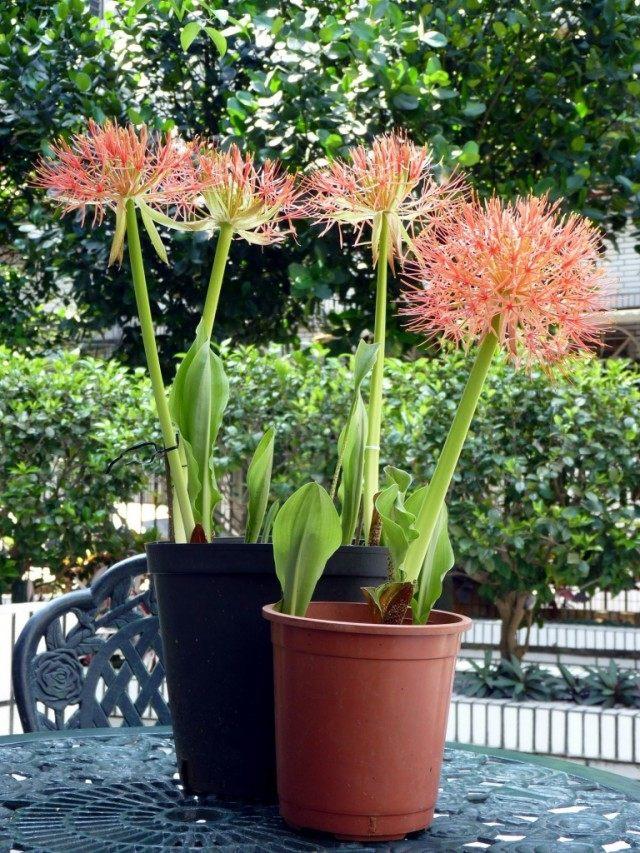 Скадоксус многоцветковый (Scadoxus multiflorus), синоним Гемантус многоцветковый (Haemanthus multiflorus)
