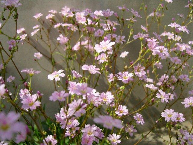 Левизия Конгдона (Lewisia congdonii)