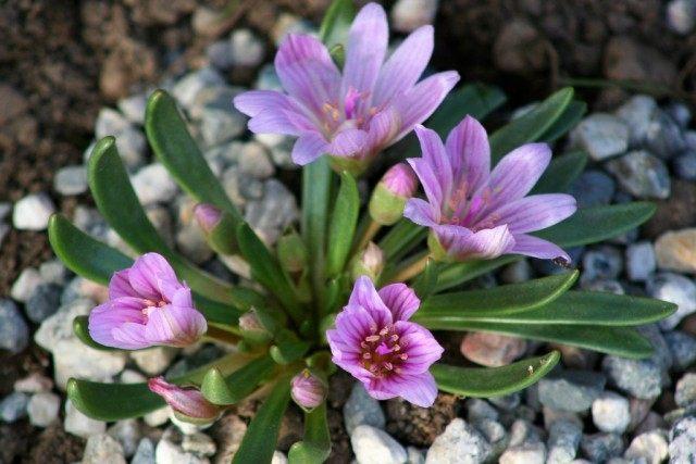 Левизия невадская (Lewisia nevadensis)