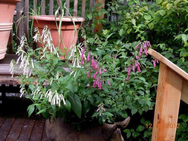 Фигелиус равный белый сорт 'Snow Queen' розовый сорт'Sani Pass' (Phygelius aequalis)