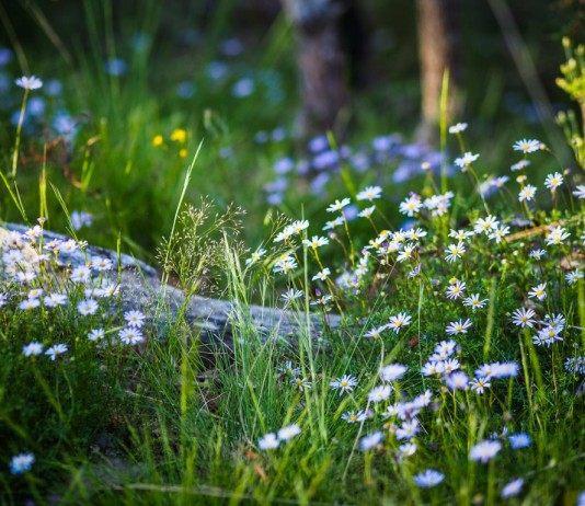 Дикие цветы