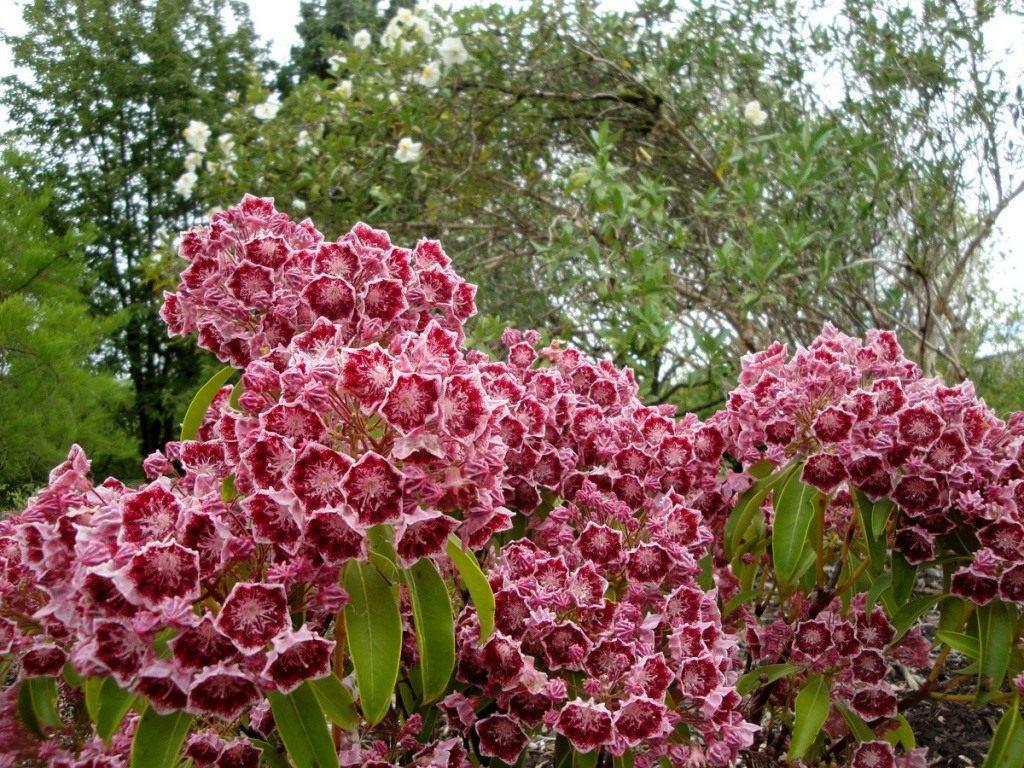 03-kalmia-latifolia