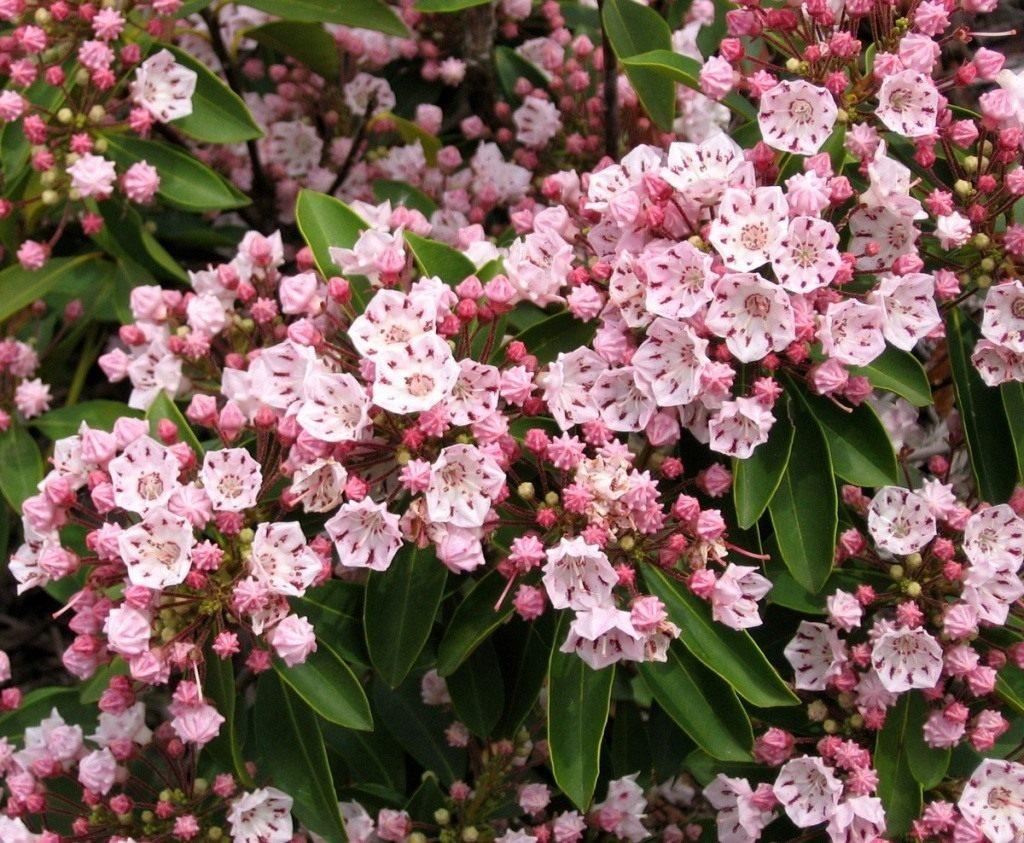 04-kalmia-latifolia