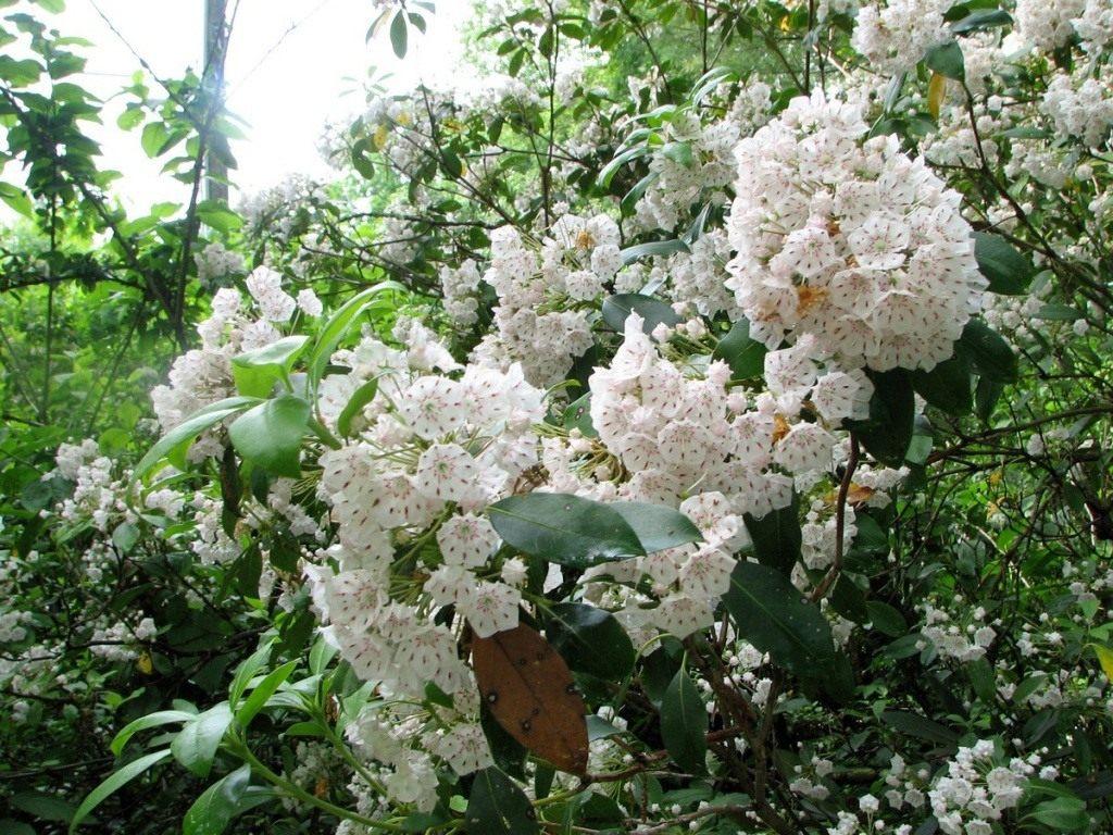 05-kalmia-latifolia