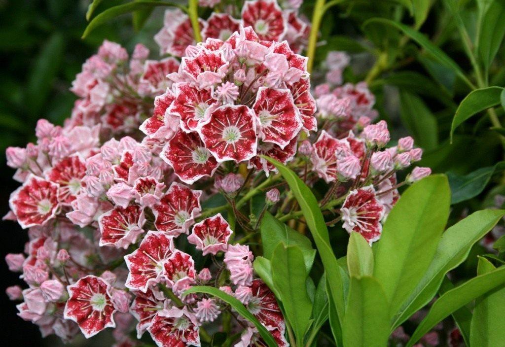 09-kalmia-latifolia