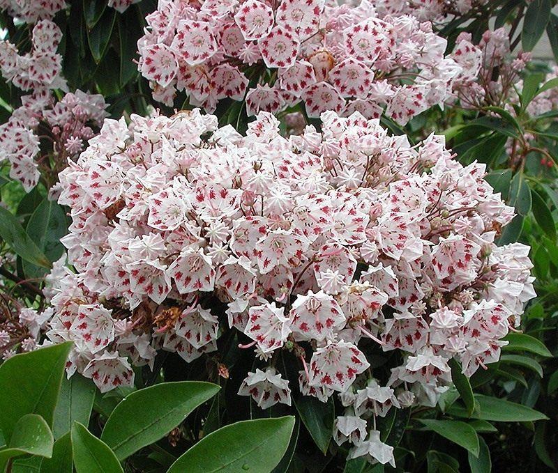 13-kalmia-latifolia