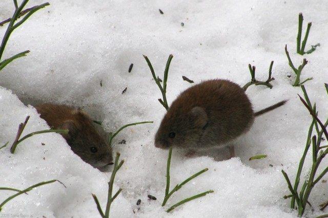 Защитите сад и хранилища от грызунов, таких как зайцы, мыши и пр.