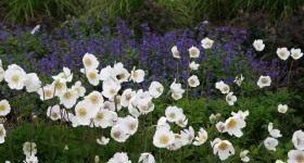 Анемоны, цветущие летом - Цветник и ландшафт