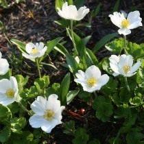 Анемона мелкоцветковая, Ветреница мелкоцветковая (Anemone parviflora)