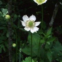 Анемона виргинская, Ветреница виргинская (Anemone virginiana)