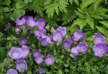 3 надежных сорта садовых колокольчиков