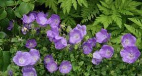 3 надежных сорта садовых колокольчиков - Цветник и ландшафт