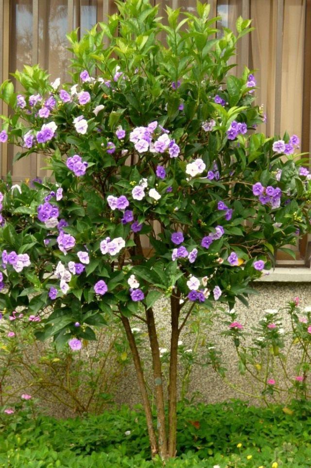 Брунфельсия крупноцветковая (Brunfelsia grandiflora)