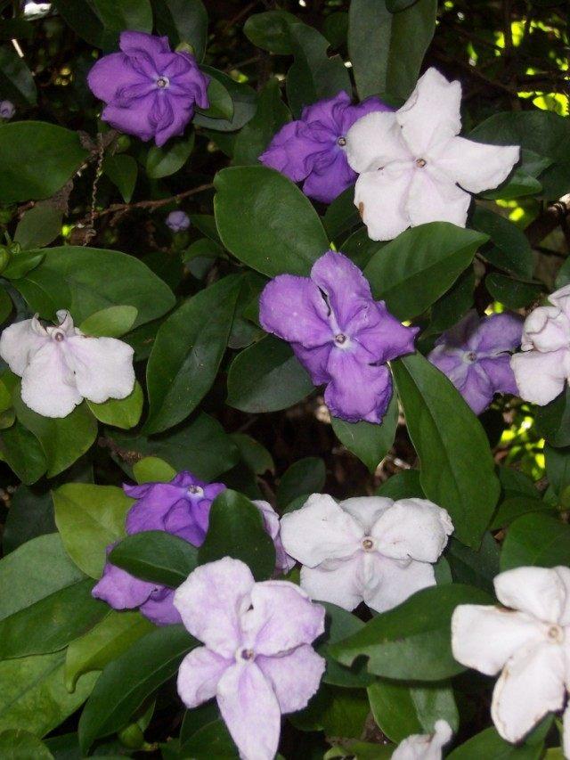 Брунфельсия одноцветковая (Brunfelsia uniflora)