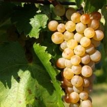 Фурминт — сорт винограда