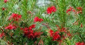 Древовидная гревиллея с филигранной зеленью - Комнатные растения