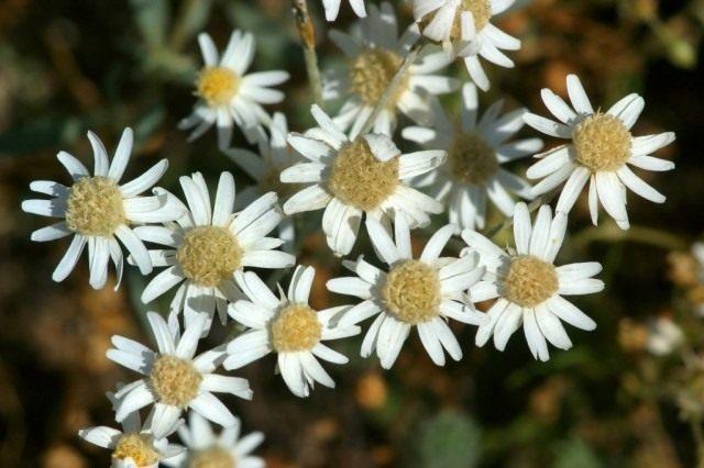 Гелиптерум щиткоцветковый (Helipterum corymbiflorum)