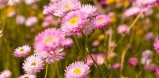 Гелиптерум розовый (Helipterum roseum)