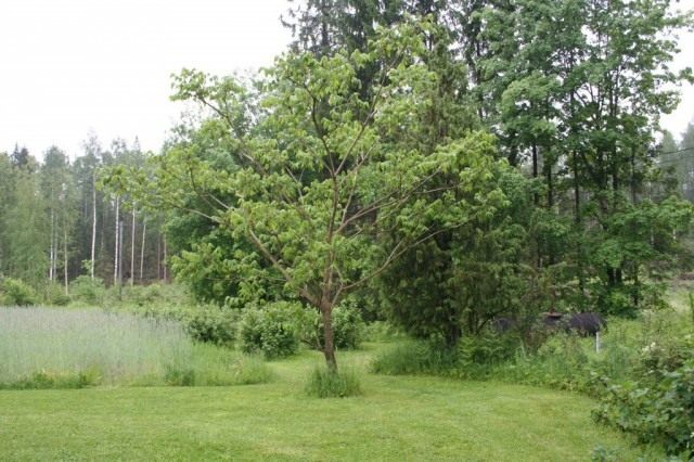 Молодое дерево Маньчжурского ореха