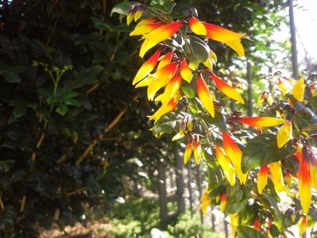 Юстиция флорибунда (Justicia floribunda)